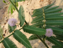 MIMOSA PUDICA sensitive pudique